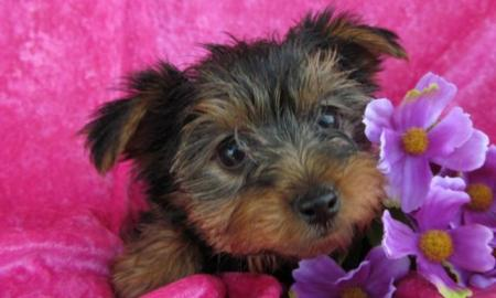 Factors to Consider Before Buying a Terrier Yorkshire