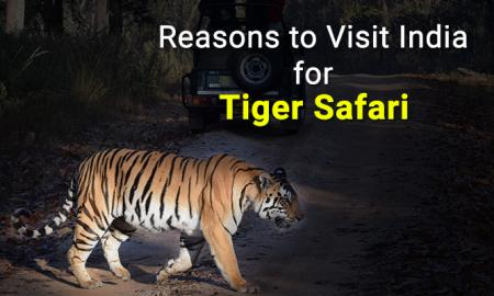 Tiger Safari In India, Don't miss it for the world