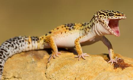 Some Essential Tips You Need to Know to Take Care of Leopard Geckos